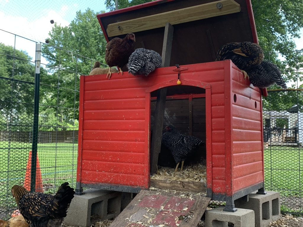 Chickens roosting on a nesting box.