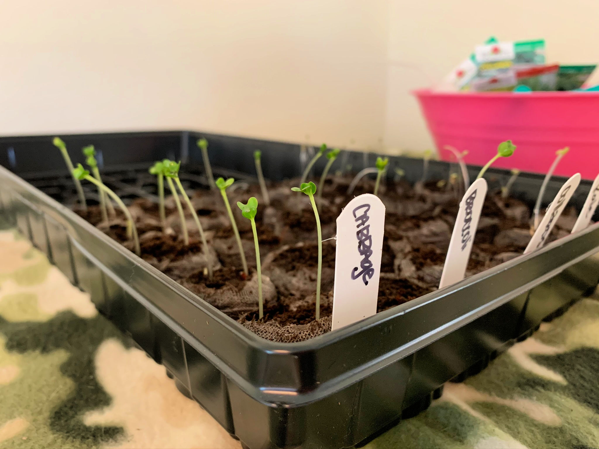 seeds sprouting in seed tray