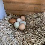 Eggs in nesting box.