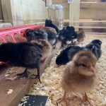 chicks in a brooder